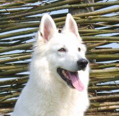 Mijn honden - Zwitserse Witte Herder Kennel van de Banjou Burght
