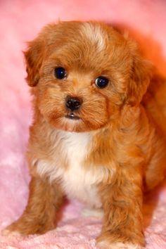 Maltipoo Puppies | thepuppymatchmaker