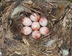 Nuthatch nest with eggs
