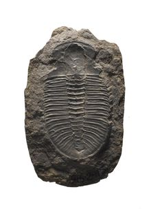 Ogygopsis klotzi, fossil trilobite, from the Cambrian Period of Canada