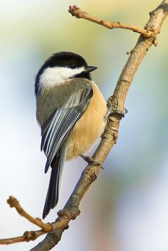 Chickadee by Casper Storm on Capture Minnesota // Chickadee, plain and simple.  One more...