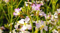 2015/03 /30 8:30 〔路傍の春〕ダイコンの花
