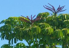 australian umbrella tree