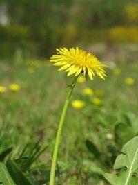 Elementary science program about dandelions