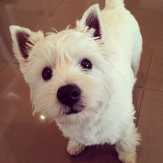 This is a West Highland White Terrier, also known as a westie. | 25 Photos To Prove That The Westie Is King Of Instagram