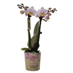 Little kolibri orchid andorra Glass Vase, Andorra, Home Decor, Homemade Home Decor, Decoration Home, Interior Decorating