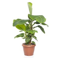 Bananenplant+(Musa+'Dwarf+Cavendish')+D+35+cm