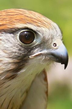 Australian kestrel, Falcon, Animal