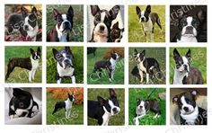 Boston Terriers Digital Collage 1.5 inch / 178 by LisaChristines, $1.50