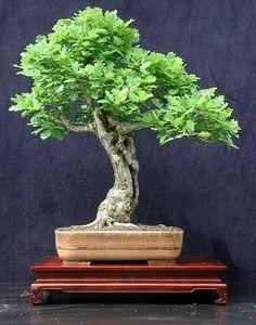 Oak tree bonsai