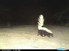El zorrillo cadeno o zorrino de nariz porcina (Conepatus leuconotus)