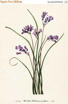 January Vintage Sale Vintage 1953 Blue Dicks Flower Botanical, Floral Print for Framing, American Wildflower, Purple Blue Flowers