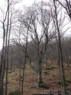 Para lograr que el Haya de la Herguijuela salga completo en la foto hay que retirarse bastante. En invierno presenta su aspecto menos hermoso y sin embargo es una auténtica maravilla, imagínate pues, como de bonito es en primavera o en otoño... o en veranito que en la Sierra de Francia es fresco y agradabilísimo.