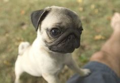 PUG! I have a new obsession with Pugs! They are sooo cute