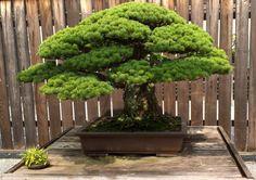 bonsai antiguo - Buscar con Google