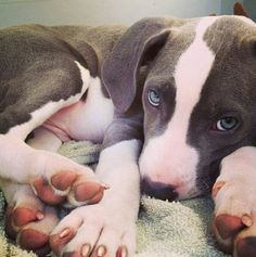Beautiful pitt pup Terrier Dog Photography Puppy Hounds Chiens Puppies Pitbull American Pit Bull Terrier Staffordshire