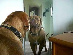 Dogue de bordeaux sees himself in the mirror. He isn't happy.