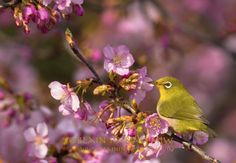 Japanese White-eye Images by Blain Harasymiw Photography