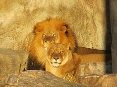 Lion Perhe, Mies, Nainen, Naarasleijona