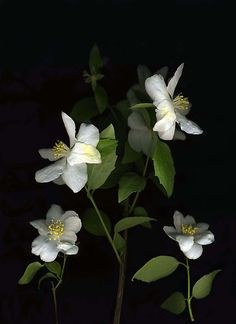 flower suggestion Mock Orange