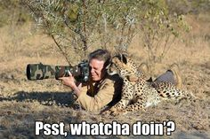 Cheetahs are very social animals. They used to be used by people in Africa to hunt and protect villagers