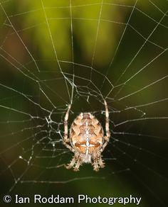 Female Garden Spider Garden Spider, Female