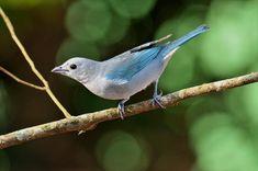 Pipira-azul (Cyanicterus cyanicterus)
