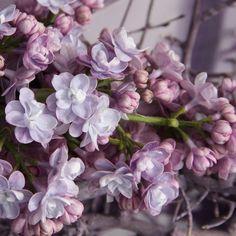 Flieder Syringa vulgaris 'Michel Buchner' - Lila Flieder - Flieder-Premium Fliedertraum