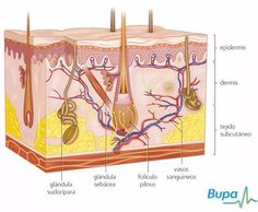 What causes Pimples - How skin works - skin cutaway. What Causes Pimples, Acne And Pimples, Acne Skin, Skin Anatomy, Human Anatomy, Subcutaneous Tissue, Skin Structure, Types Of Acne, Clean Pores