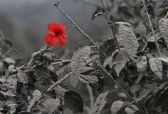 Hibiscus - Red Rose in Black And White Surroundings. This looks like something made in photoshop, but it is actually real. This is a picture of a red hibiscus flower which blossomed after a volcanic eruption in Indonesia. Hibiscus Flowers, Red Flowers, Hibiscus Plant, Dame Nature, Volcanic Ash, Plant Covers, Foto Real, Flower Stands, Pictures Of The Week