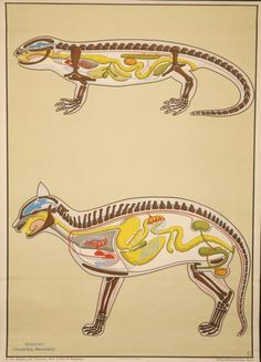 cat and lizard anatomy