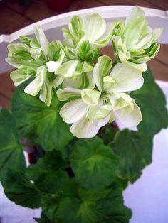 Succulents Garden, Garden Plants, House Plants, Planting Flowers, Indoor Plants, Beautiful Gardens, Beautiful Flowers, Love Flowers, Green Flowers