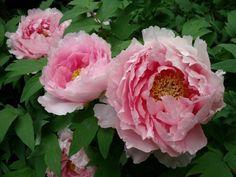 fotó rózsaszín bazsarózsák