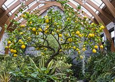 Grow a Meyer lemon tree in the greenhouse for food.