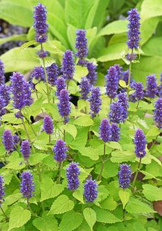 Agastache foeniculum 'Golden Jubilee' notable for its unique foliage, this is a compact hyssop, reaching only tall and wide. Loves heat, but not direct sunlight, preferring part shade. Blue And Purple Flowers, Exotic Flowers, Beautiful Flowers, Unusual Plants, Drought Tolerant Plants, Dream Garden, Garden Planning, Garden Inspiration, Beautiful Gardens