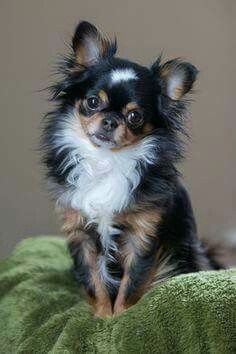 Effective Potty Training Chihuahua Consistency Is Key Ideas. Brilliant Potty Training Chihuahua Consistency Is Key Ideas. Beautiful Dogs, Animals Beautiful, Cute Animals, Baby Animals, Simply Beautiful, Cute Puppies, Cute Dogs, Dogs And Puppies, Doggies