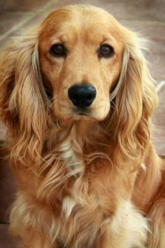 Top 6 Best Dog Breeds for Anxiety Patients; cutieeee!! ♡☮✨