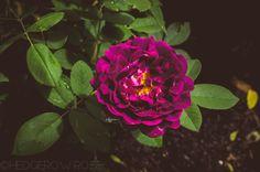 Tuscany Superb Gallica Rose | Hedgerow Rose