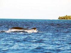 La migration des baleines en Guadeloupe • Hellocoton.fr
