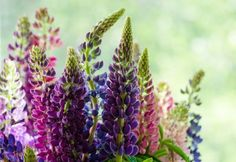 A favorite springtime activity, growing lupine (Lupinus polyphyllus) provides flower gardeners with a wide and brilliant array of colors.