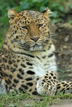 Amur Leopard - Taken at Colchester Zoo 2013