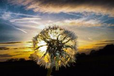Dandelion by Jessica Avison. Submitted on Facebook as part of #SnapWarrington