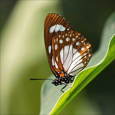 Forest Queen Butterfly