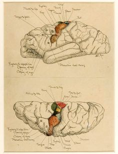 anatomical illustrations of the brain, by Harvey Cushing, ca. 1900-1910