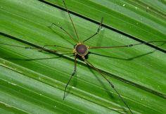 (Discosomaticinae) Harvestman Ecuador
