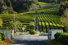 Cha #Gorreana - čajová plantáž europes oldest tea plantation