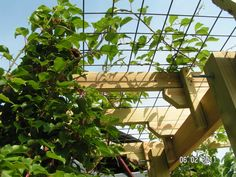Kiwi supported by a cattle panel on trellis support. While age-old inside notion, the pergola Pergola Cost, Pergola Shade, Pergola Ideas, Metal Pergola, Grape Vine Trellis, Grape Vines, Kiwi Vine, Cattle Panels, Grape Arbor