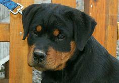 German Rottweiler Puppies German Rottweiler Breeder Rottie ...