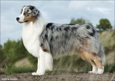 Ticolana's Australian Shepherds - Heavenly Stars Ask me Why
