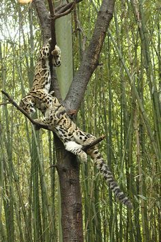 Clouded leopard (Neofelis nebulosa) Cubs